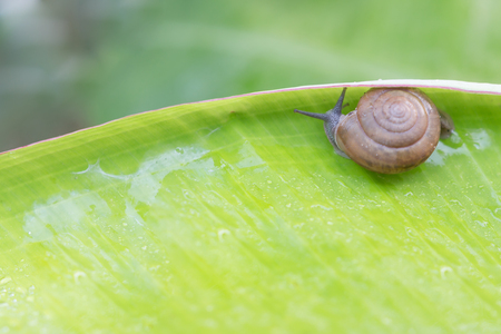 actual: Stock Photo - Snail creeps on green banana leaf. The actual episode from the life of molluscs. Stock Photo