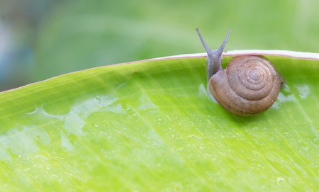 molluscs: Stock Photo - Snail creeps on green banana leaf. The actual episode from the life of molluscs. Stock Photo