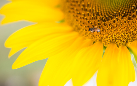 pollinate: bees hive pollinate sunflower. Bee produces honey on a flower. Summer background. Stock Photo