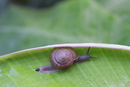 episode: Stock Photo - Snail creeps on green banana leaf. The actual episode from the life of molluscs. Stock Photo