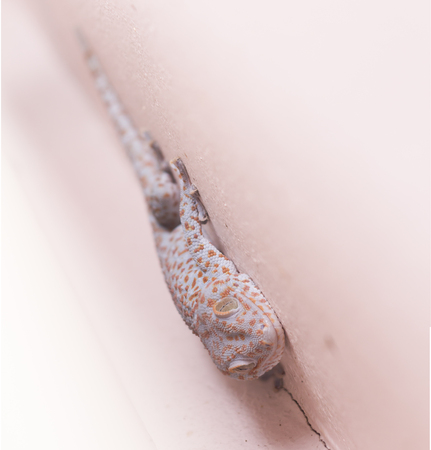 bugaboo: gecko on the wall Stock Photo
