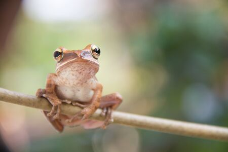 glandular: Golden Tree Frog