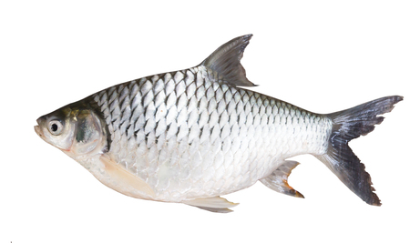 biology instruction: Freshwater fishes  isolate on white with clipping path ,susceptible host of opisthorchis viverrini Stock Photo
