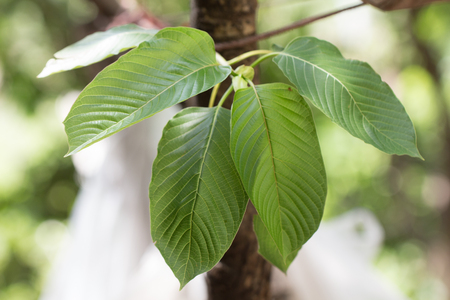 Kratom (Mitragyna speciosa) Mitragynine. Drugs and Narcotics Stock Photo