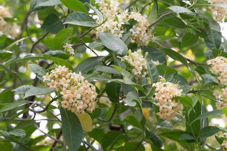 odorous: Close up Tembusu flowers(Fagraea fragrans Roxb.) Stock Photo