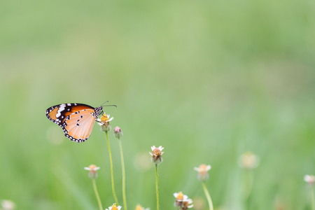 Close up butterfly on flower.Coatbuttons. Mexican daisy. Monarch Butterfly. Stock Photo