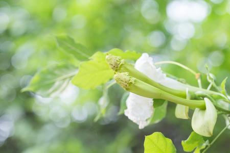 lamiales: Dolichandrone serrulata (DC.) Seem blossom. herb for health Stock Photo