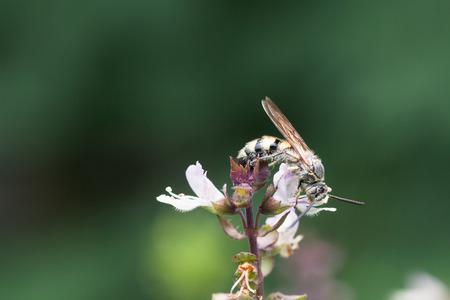 nectar: honey bee collects Basil flower nectar Stock Photo