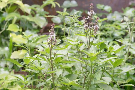 tulasi: Fresh basil flower plant in the garden