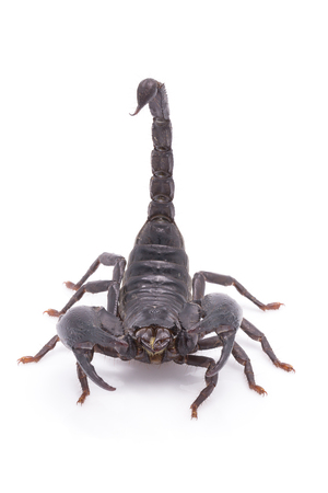 pinchers: Heterometrus longimanus back scorpion.Emperor Scorpion, Pandinus imperator.scorpion isolate on white background