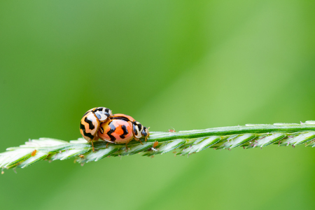 Natural background love making ladybugs couple on green background. Valentine background.