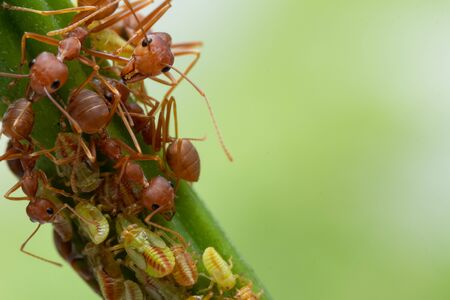 Ants and leafhopper on green tree over natural background concept for  pesticdes or pest control in agriculture garden