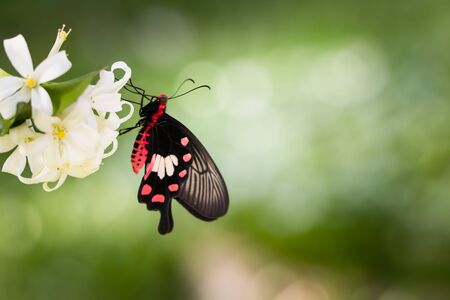 common rose butterfly hang on white flower over green background,Concept for natural background