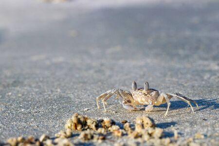 Ghost Crab (Ocypode quadrata) on a Sandy Beach