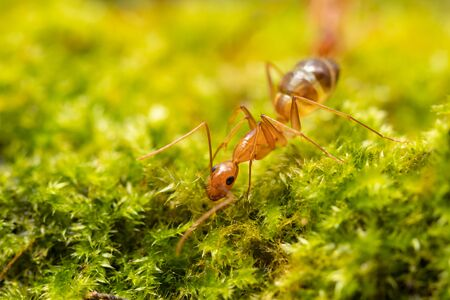 Anoplolepis gracilipes, yellow crazy ants, on mos plant,Concept for natural background Imagens