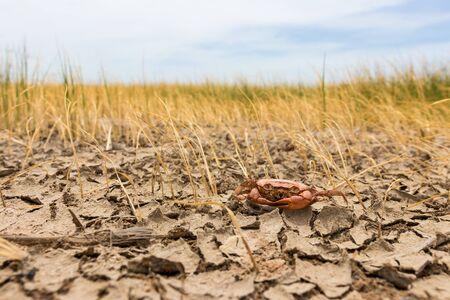 Cangrejo muerto en vaina de sequía, tierra seca y agrietada. Desierto con campo de arroz, fondo de calentamiento global