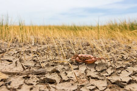 Dead crab on drought Pod,dry and cracked ground. Desert with rice field,Global warming background Stock Photo - 128736647
