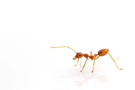Ant action standing.Ants Work together isolate on white background