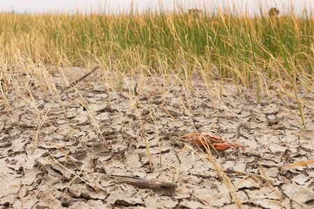 Dead crab on drought Pod,dry and cracked ground. Desert with rice field,Global warming background