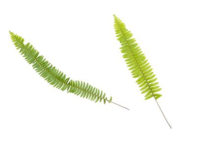 Phymatosorus scolopendria commonly called monarch fern isolated on white background. Stock Photo