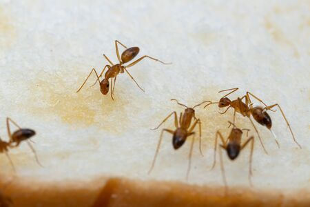 Anoplolepis gracilipes, yellow crazy ants, on 