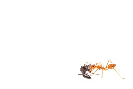 Ant action standing.Ants Work together isolate on white background Stock Photo - 128736972