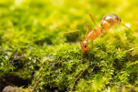 Anoplolepis gracilipes, yellow crazy ants, on mos plant,Concept for natural background Stock Photo
