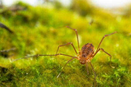 Macro close up of Harvestmen (harvester, daddy long leg) spider.