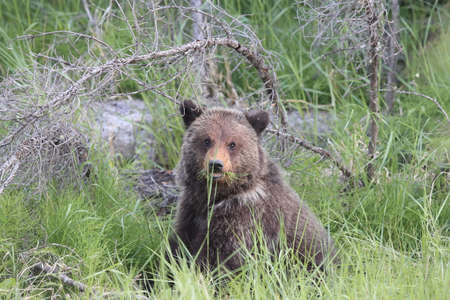 young grizzly bear canadian rockies Stock Photo