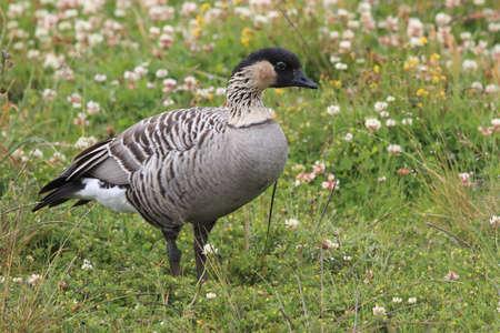 Nene Goose,Hawaiian goose, (Branta Sandvicensis) Big Island Hawaii