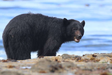 Black bear roaming low tide shores, looking for crabs. Vancouver Island,  Canada Stock Photo