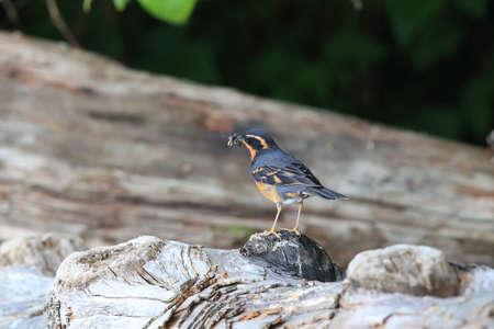 varied thrush (Ixoreus naevius) vancouver island canada