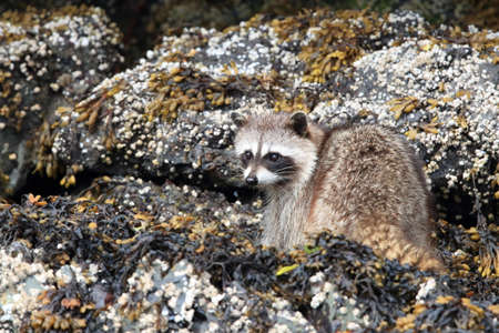 Raccoon looking for food between rocks , Vancouver, BC Stock Photo