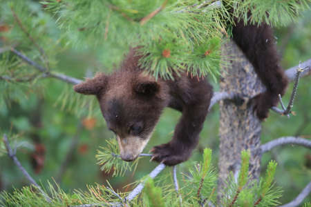 Young black bear Kanada