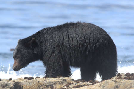 Black bear roaming low tide shores, looking for crabs. Vancouver Island,  Canada 스톡 콘텐츠