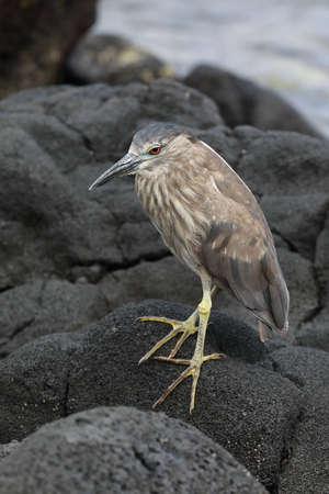 black-crowned night heron (Nycticorax nycticorax)  Big Island Hawaii USA Stok Fotoğraf