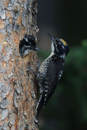 Black Backed Woodpecker is feeding his young