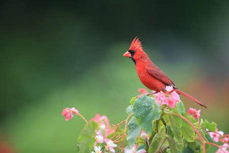 Red Cardinal Hawaii Big Island USA Stock Photo