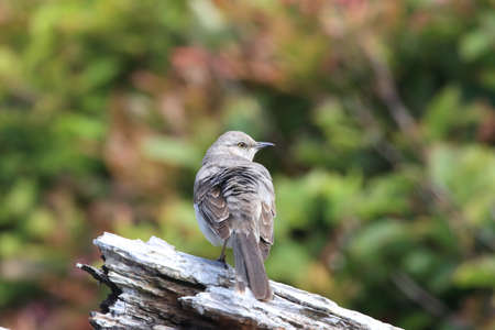 Nordern Mockingbird , vancouver island canada Zdjęcie Seryjne
