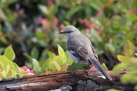 Nordern Mockingbird , vancouver island canada Stock Photo