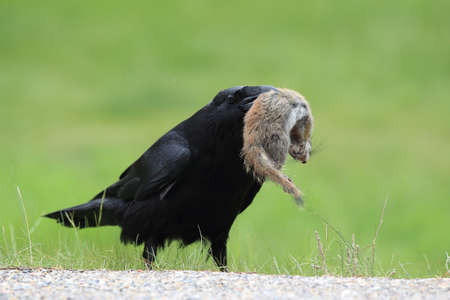 raven with captured columbia ground squirrel Banco de Imagens