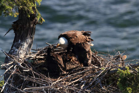 Adult Bald Eagle with two chicks in a nest in a tree on the side of a cliff Vancouver Island Canada