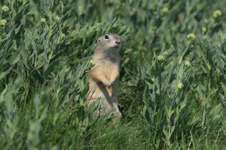 European ground squirrel (Spermophilus citellus) Rana- Czech Standard-Bild