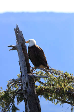 Bald Eagle Vancouver Island Canada Stock Photo