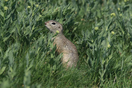 European ground squirrel (Spermophilus citellus) Rana- Czech Stock Photo