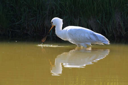 Eurasian or common spoonbill in nature Island Texel,Holland Stock Photo