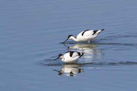 Pied Avocet, Recurvirostra avosetta, Texel Holland 版權商用圖片