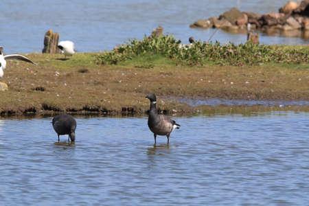 brent goose (Branta bernicla) Texel Holland