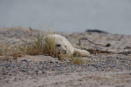 Grey Seal (Halichoerus grypus) Pup Helgoland Germany Stockfoto
