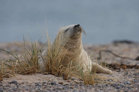 Grey Seal (Halichoerus grypus) Pup Helgoland Germany Stock Photo